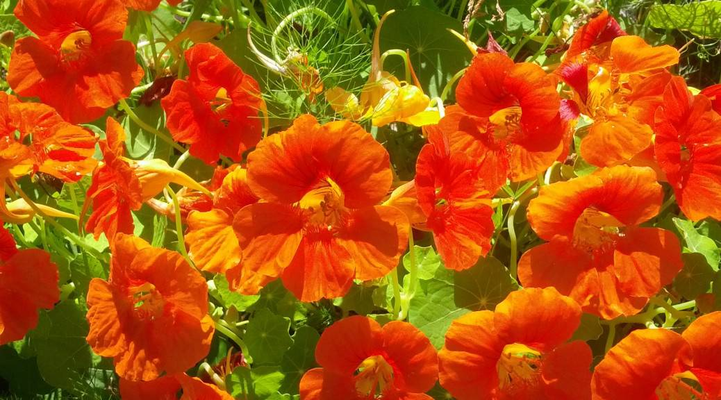 Nasturtiums in the garden
