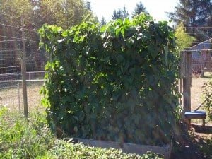 Full Green Bean Trellis