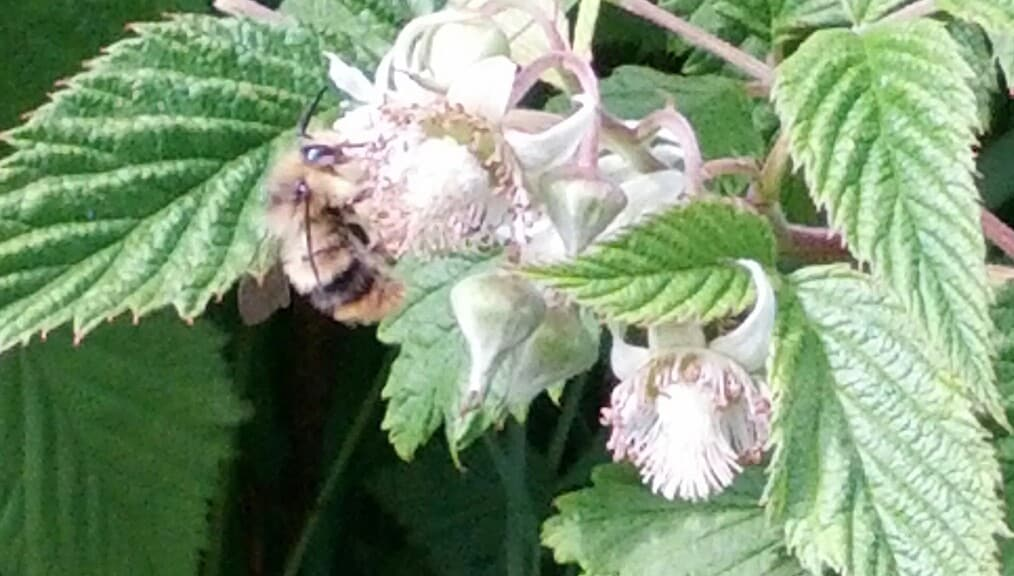 Bees on the Raspberries