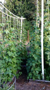 sagging trellis