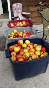 A few apples for saucing