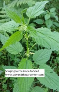 Stinging Nettle gone to seed