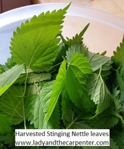 Harvested Stinging Nettles