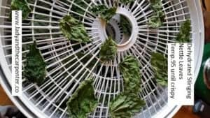 Dehydrate Nettles and other herbs at very low temperatures. (under 100 degrees)
