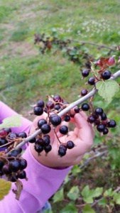 Picking currants